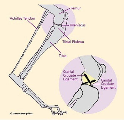 continual instability, in absence of a healthy ligament constraining  abnormal movement of the joint, leads to progressive osteoarthritis
