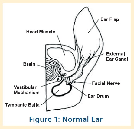 Ear disease problems and solutions veterinary surgical centers the external ear canal terminates at the tympanum eardrum which separates it from the bulla or middle ear the bulla is a circular canal of bone at the ccuart Image collections